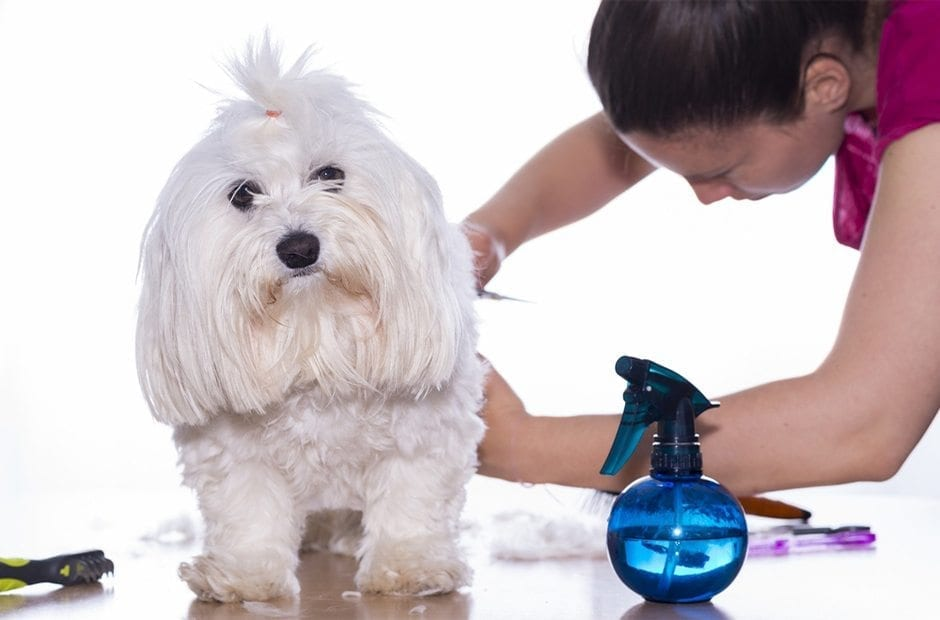 short haired dog getting groomed